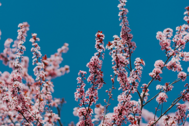 nashville-april-calendar-cherry-blossoms2